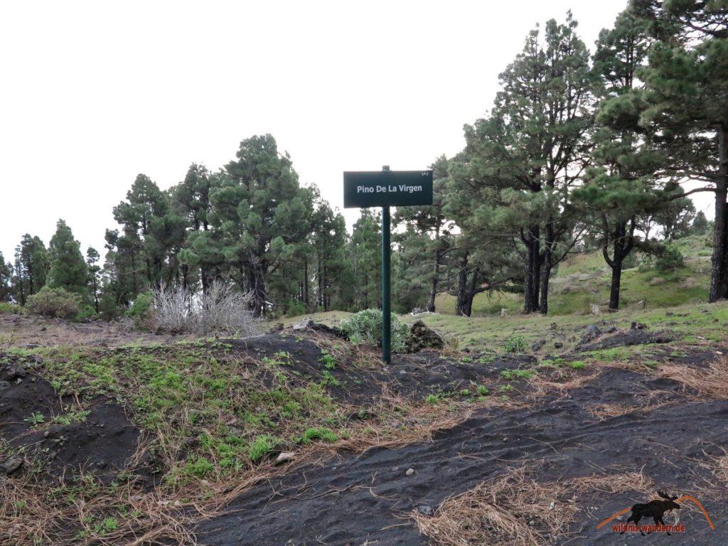 Pinienwald von Los Roques
